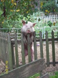 petunia_on_fence-1